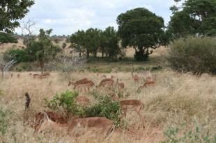 Impala Herd Kruger park
