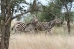 Zebras Kruger park