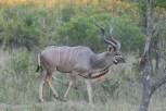 Kudu Kapama