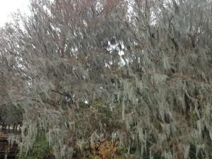 Spanish Moss in Winter 2