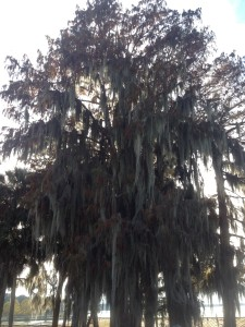 Spanish Moss Strangling a Tree in the Evening Sun