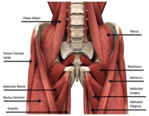 groin-anatomy