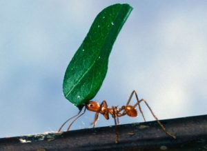 worker_ant_carrying_leaf