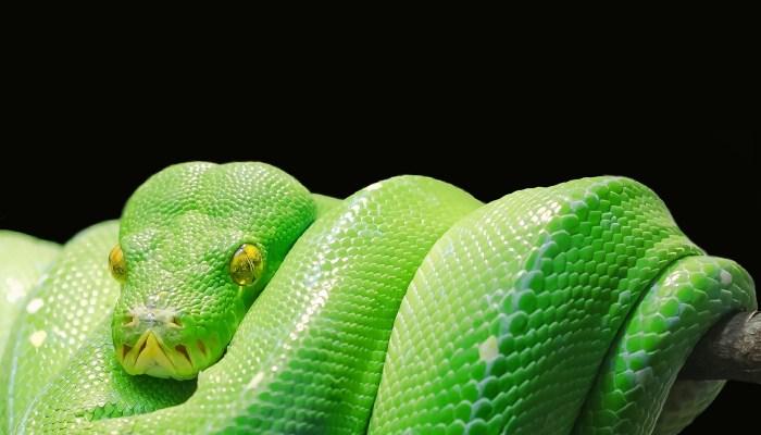 Syndrome du Poisson Surgelé : que vient faire ici ce Python Vert, ou Serpent Émeraude