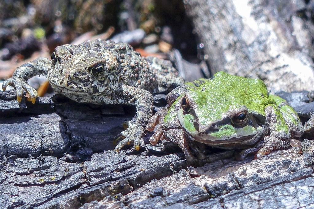 Réhabilitation du Crapaud : crapauds et grenouilles ne sont pas amants (mais ils peuvent être amis).