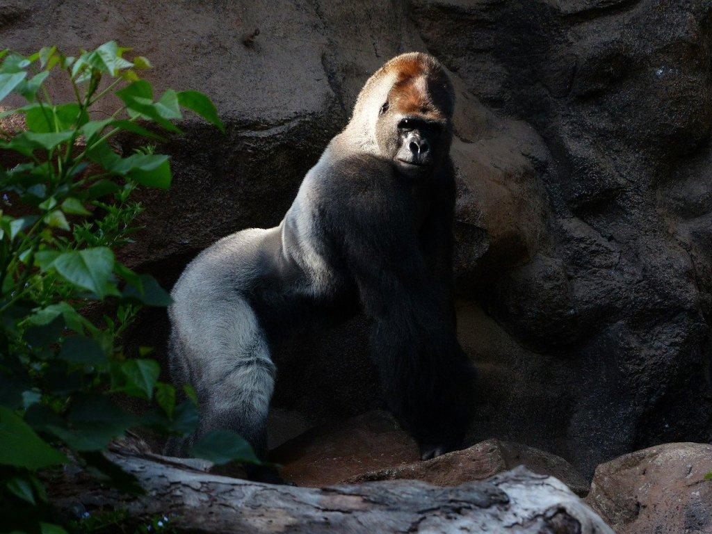 Gorille : un mâle d'âge mûr. Un vrai dominant
