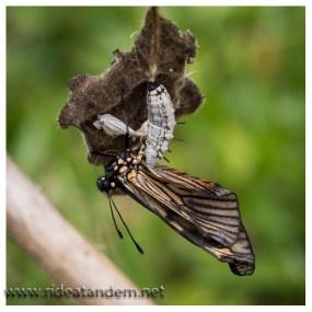 Wenn Radler noch langsamer unterwegs sind als Normal, entdecken wir auch Schmetterlingsgeburten