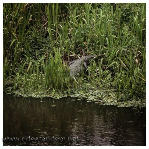 Nachdem wir 2 tote Krokodile gesehen hatten, erwischten wir auch ein lebendiges. Leider etwas zu weit weg und ohne Chance näher heran zu kommen.