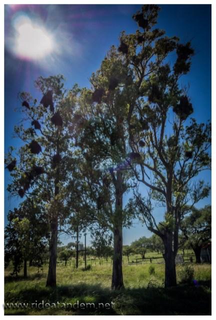 Manche Bäume hängen voll von den Nestern der Sittiche. Wahrscheinlich eher ein Mietshaus.