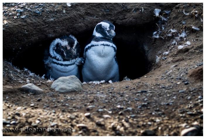 Die Pinguine leben monogam und sind glücklich mit einer selbstgebuddelten Erdhöhle. Es sind keine Jungtiere, sondern die Eltern. Kurz vor Abreise bekommen sie noch einmal ein frisches Federkleid.