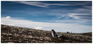 Was ein bisschen wie eine Blumenwiese aussieht entpuppt sich bei näherer Betrachtrung als Federnmeer. Die Pinguine sind in der Mauser und bekommen neue Federn.