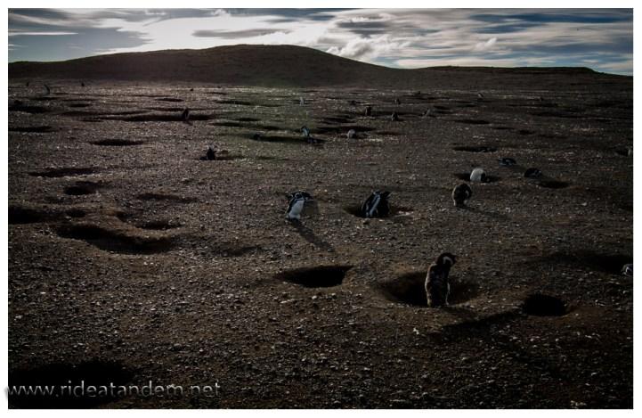 In dieser Kraterlandschaft fühlen sich die Megellanies wohl. Jedes Jahr beziehen sie dieselbe Wohnung. Bei zu grossem Renovierungsbedarf, wird eine neue gebuddelt. Direkt neben an.