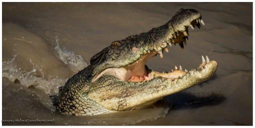 Zum Abbeissen eignen sich die Zähne nicht, darum schlucken sie einfach alles in einem Stück herunter oder zerreissen es durch heftige Drehungen.