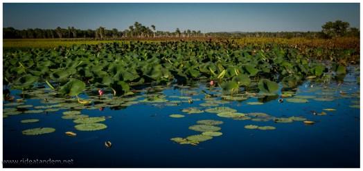 Wasserlilien, die Aborigines nutzen die gesamte Pflanze