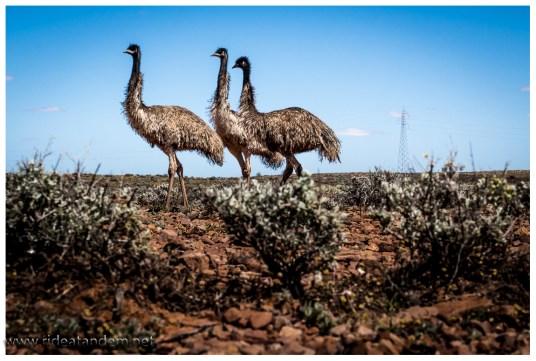 Aber so dicht kommen wir ohne Tricks nicht an die Emus heran