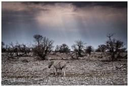 Oft schon sehr alleine sind sie, die Zebras