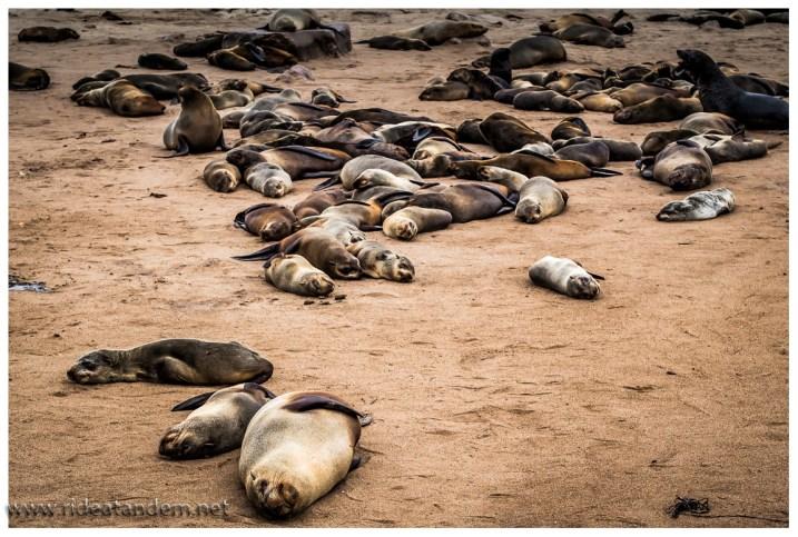 Auf den Bildern strahlt die Robbengesellschaft eine irrsinnige Ruhe aus, direkt vor Ort verbreiten die Bullen ganz schön Unruhe.