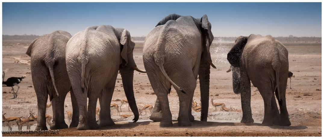 Eine Gruppe männlicher Elefanten kann Stunden am Wasserloch baden und trinken ud chillen und .....