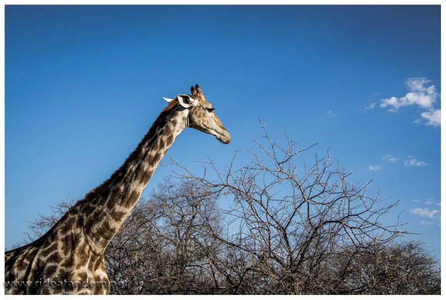 Wir mögen sie, die Giraffen