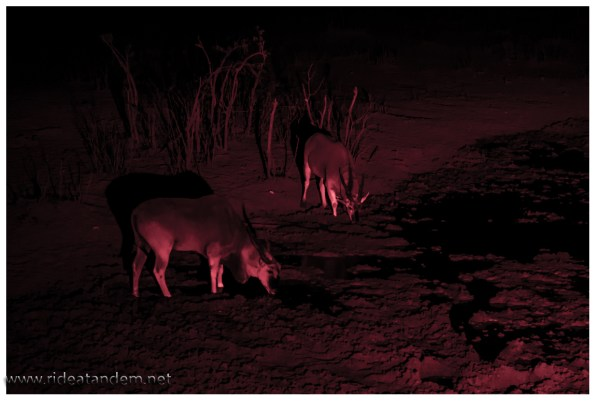 Am letzten Wassercampingplatzloch haben wir nochmal Glück. Die sehr scheuen Elenantilopen kommen uns besuchen, leider im Dunkeln