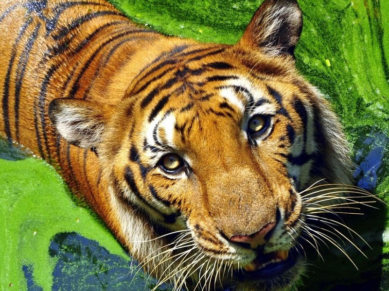 royal bengal tiger (2)