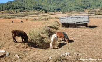 Mule enjoying their organic meal