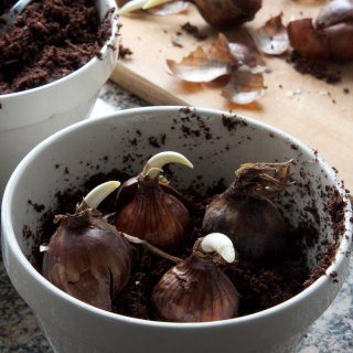 Plant Paperwhite Bulbs to Enjoy at Christmas and New Years