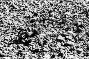 Where's cousin Matthew when you need him for an ID on an arachnid. Pretty sure it was a tarantula! (couldn't quite get in focus) Makes you think twice before sleeping in the open on the desert floor. US190 near Panamint Springs, CA, USA