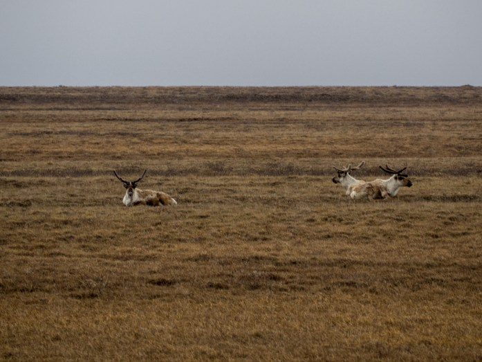 Caribou, guy on the left is cheesing it up, two on the right couldn't be more nonplussed.