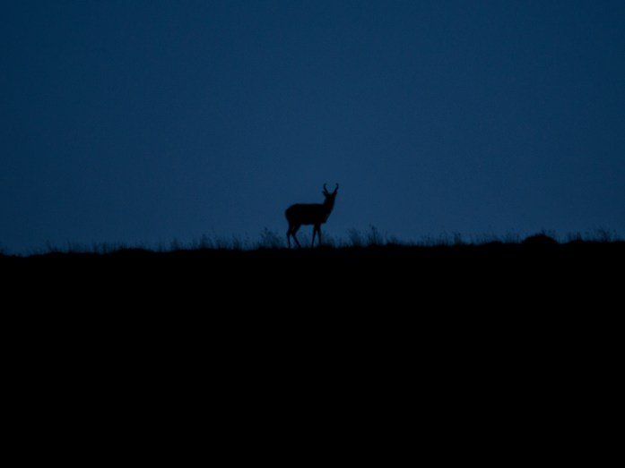night antelope