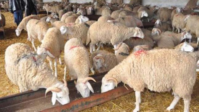 حكومة مليلية تتراجع عن منع إدخال الأضاحي من المغرب