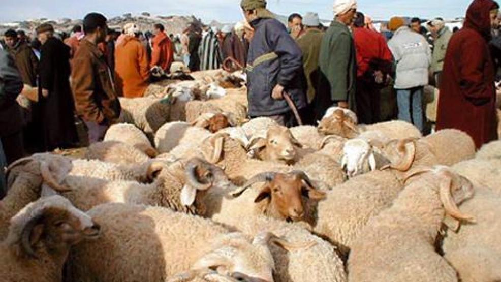استنفار في جميع المنافذ الحدودية للبلاد خوفا من وصول مرض الحمى القلاعية إلى القطيع المغربي