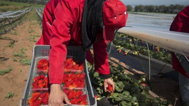 توقع وصول ألف عاملة مغربية لحقول الفراولة الإسبانية