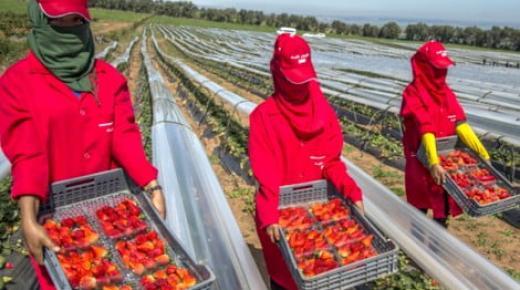 انتقال عاملات الفراولة للحقول الإسبانية يتسبب في أزمة في اليد العاملة في الحقول المغربية