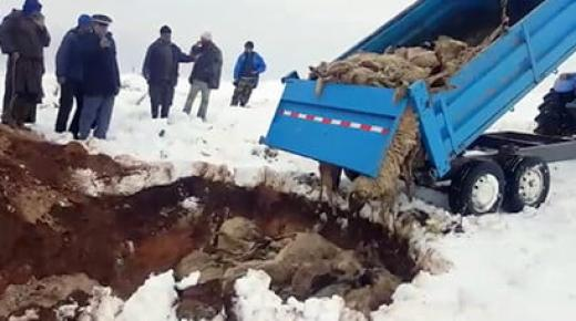 مؤلم.. نفوق حوالي 152 رأس من الماشية بسبب التساقطات الثلجية الكثيفة (فيديو)