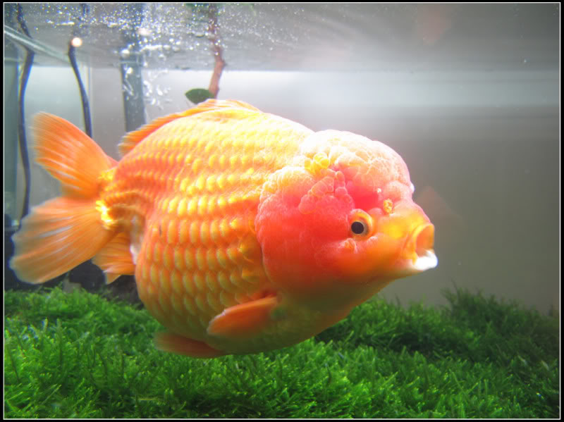 Tentang ikan mas koki