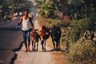 Cattle & Farmers   India