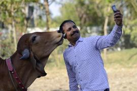 Cows vs Humans | India