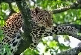 A leopard taking a rest