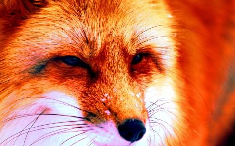 Fox original by Der Robert March 2013