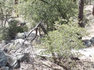 """Tree-pod"", south of Goldwater Lake"