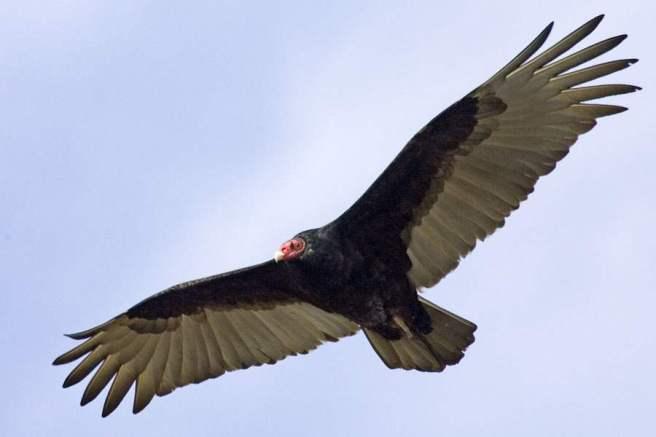 Vulture Image 1