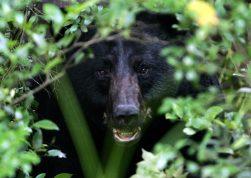 black-bear-1019046