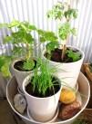 Gräslök, pelargon, och tomat.