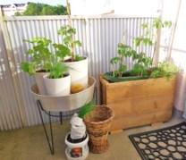 Tomater i lådan, plus citrontimjan. Gräslök, tomat och en pelargon i blombehållaren på ben.