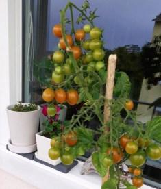 2014 frodades tomaterna.