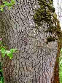 Gamla träd i den långa allén.