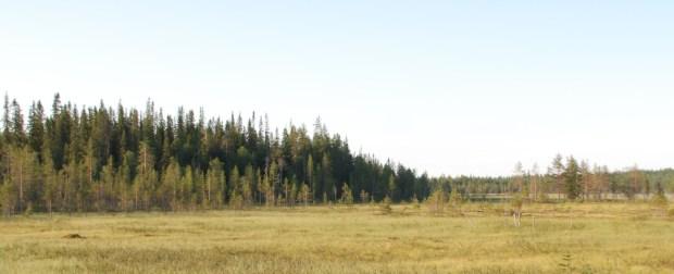 Kuvassa 180-vuotiasta metsää luonnontilaisesti kehittyneen suon ja kankaan välisellä vaihettumisvyöhykkeellä Taivalkoskella.