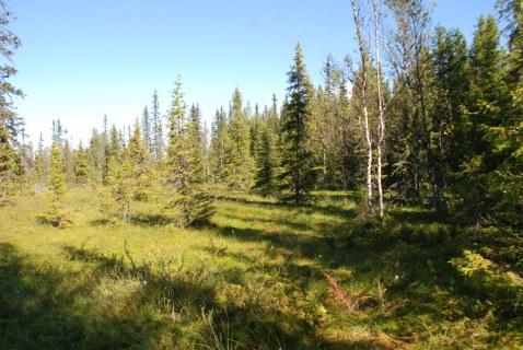 Suon ja metsän väliset alueet ovat metsäkanalintujen tärkeitä poikueympäristöjä. Kuva: Marko Svensberg / Suomen riistakeskus