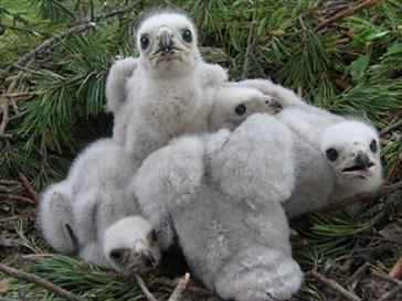 Kanahaukan poikasia. Kuva Jani Suua